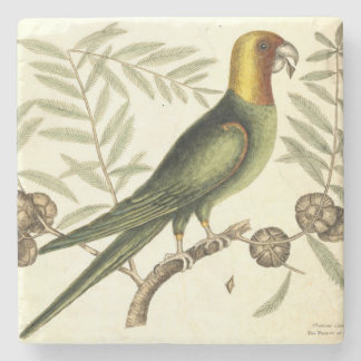 Vintage Parrot of Carolina Naturalist Illustration Stone Coaster