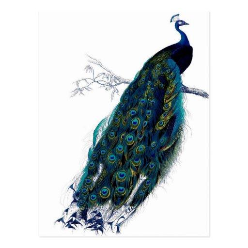 Vintage Peacock Post Card