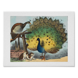 Vintage peacocks and a cat poster