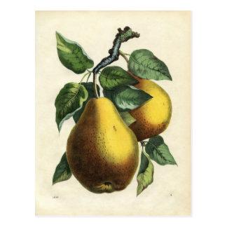 Vintage pear postcard