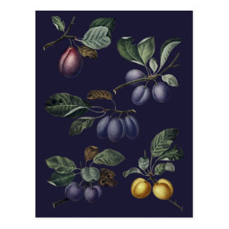 Vintage Pears and Plums Postcard