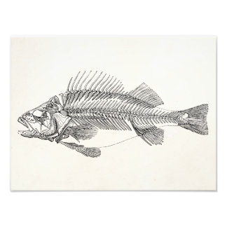 Vintage Perch Fish Skeleton - Fishes Template Photographic Print
