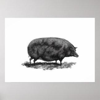 Vintage pig etching print