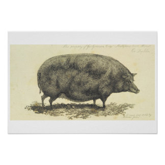 Vintage pig etching with text print