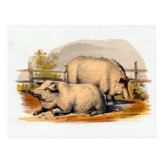 Vintage Pigs Illustration Postcard