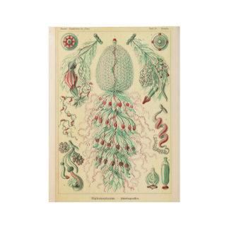 vintage Poster Siphonophorae ernst haeckel kunstf