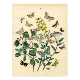 Vintage Print - Lepidoptera - Moths & Butterflies Postcard