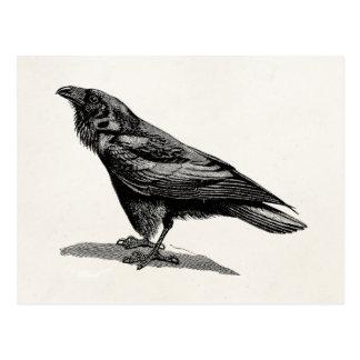 Vintage Raven Crow Blackbird Bird Illustration Postcard