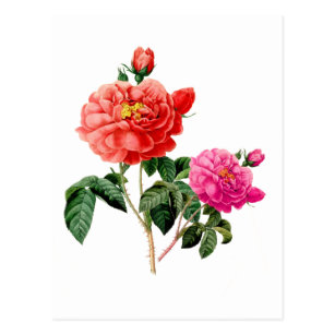Vintage Rose Botanical Postcards Zazzle Au