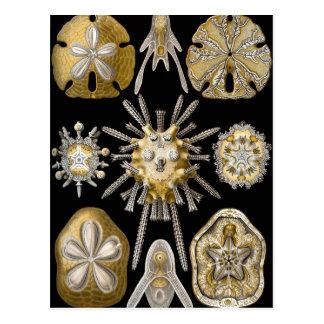Vintage Sand Dollars Sea Urchins by Ernst Haeckel Postcard