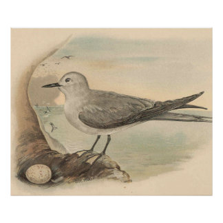 Vintage Seagull Illustration (1906) Poster