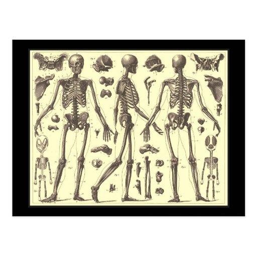 Vintage Skeleton Diagrams Postcard