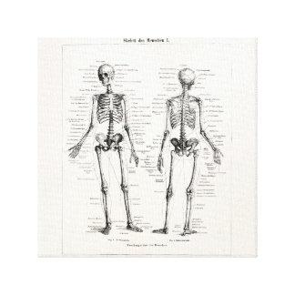 Vintage Skeleton Human Anatomy Bone Bones Skull Canvas Print