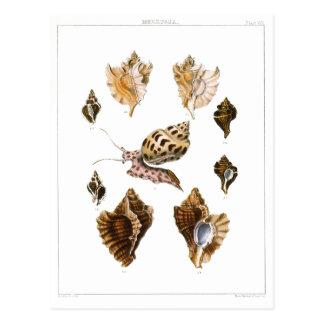 Vintage Snails and Mollusks, Marine Life Organisms Postcard