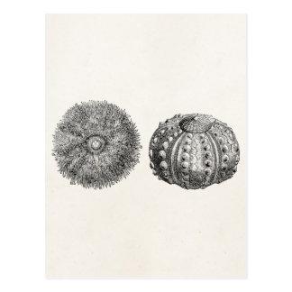 Vintage Spiny Sea Urchin Antique Template Postcard