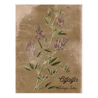 Vintage Style Alfalfa Plant Postcard