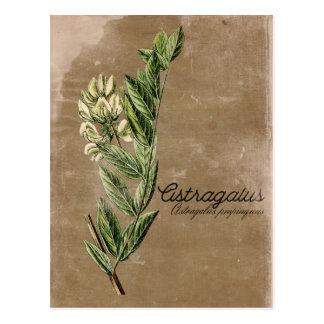 Vintage Style Astragalus Flower Herb Postcard