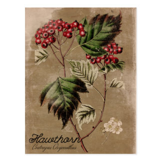 Vintage Style Hawthorn Tree Berry Postcard