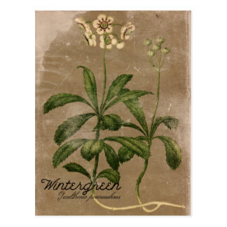 Vintage Style Wintergreen Plant Postcard