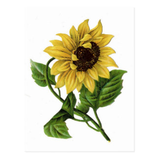 Vintage Sunflower Drawing Ceramic Postcard