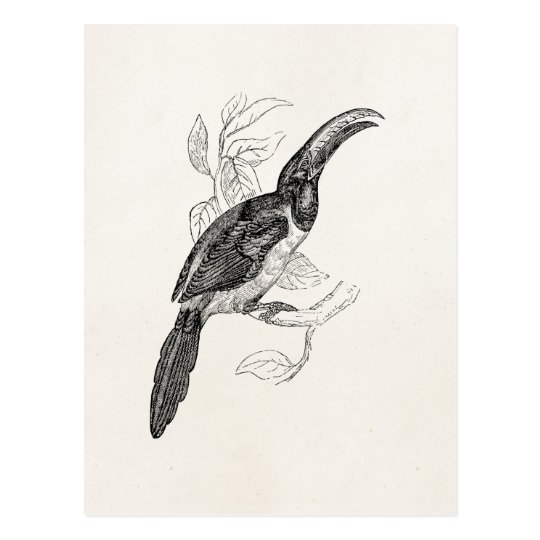 Vintage Toucan Tropical Bird - Retro 1800s Birds Postcard