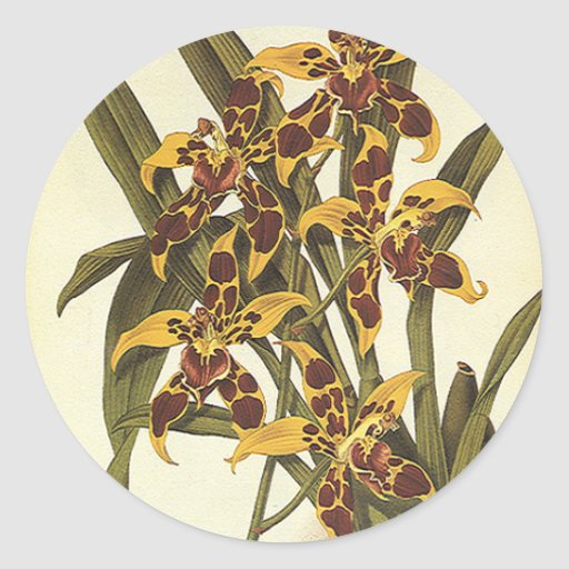 Vintage Tropical Odontoglossum Orchid Flowers Round Sticker