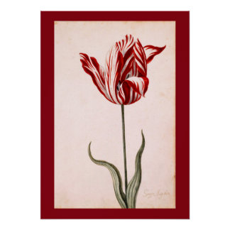 Vintage Tulip Drawing Poster