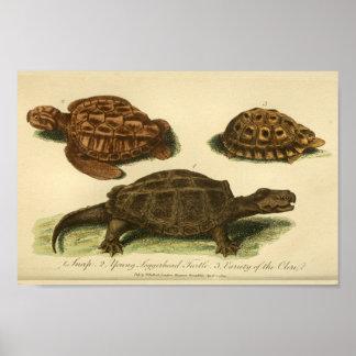 Vintage Turtles Natural History Print