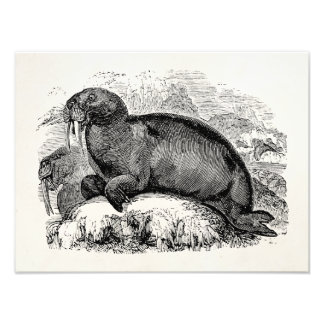 Vintage Walrus 1800s Walruses Illustration Photo Print