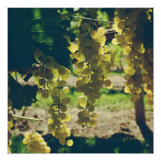 Vintage Winery Grapes Poster