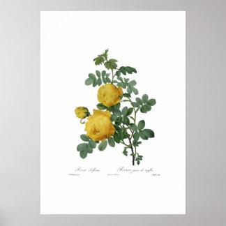 Vintage yellow rose painting print