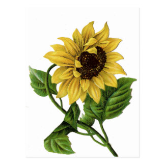 Vintage Yellow Sunflower Blank Floral Postcard