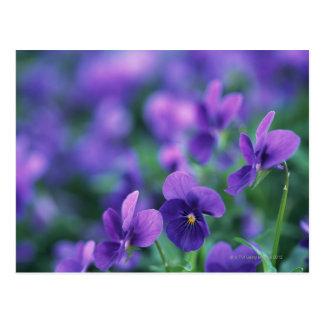 Viola Postcard