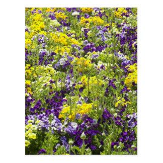 Violas Postcard