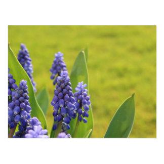 Violet Blue Muscari Flowers Postcard