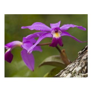 Violet Cattleya Orchid Cattleya violacea) Postcard
