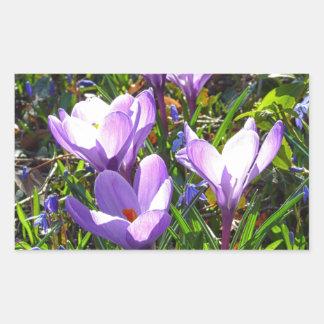 Violet crocuses 02.0, spring greetings rectangular sticker