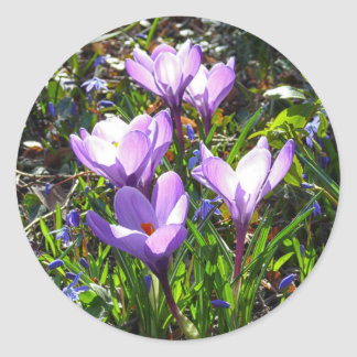 Violet crocuses 02.0, spring greetings round sticker