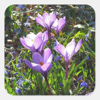 Violet crocuses 02.0, spring greetings square sticker