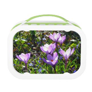 Violet crocuses, spring greetings lunch box
