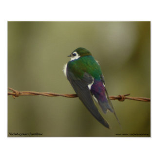 Violet-green Swallow Poster