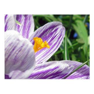 Violet jump Crocus Postcard