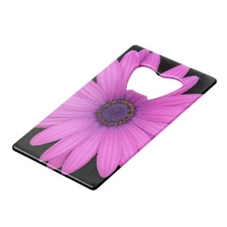 Violet Pink Osteospermum Flower Isolated on Black