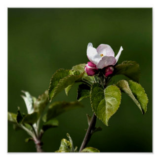 Virginia Apple Blossoms Poster