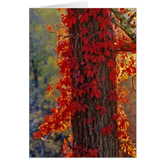 Virginia Creeper bright red in autumn at Card