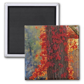 Virginia Creeper bright red in autumn at Fridge Magnets