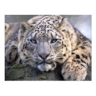 Vishnu Snow Leopard Postcard