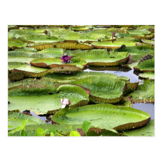 Vitoria Regis, giant water lilies in the Amazon Postcard