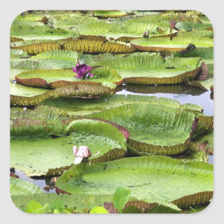 Vitoria Regis, giant water lilies in the Amazon Square Sticker