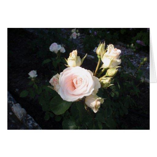 Vivaldi Hybrid Tea Rose Card